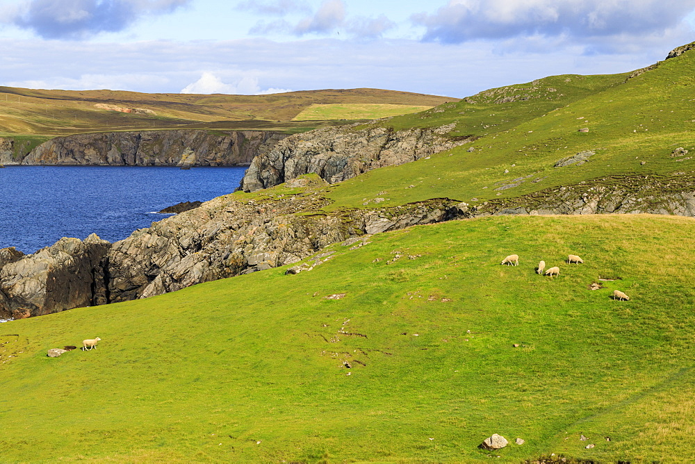 Ness of Hillswick, interesting geology, jagged cliffs, green hills, sheep, Northmavine, Shetland Isles, Scotland, United Kingdom, Europe