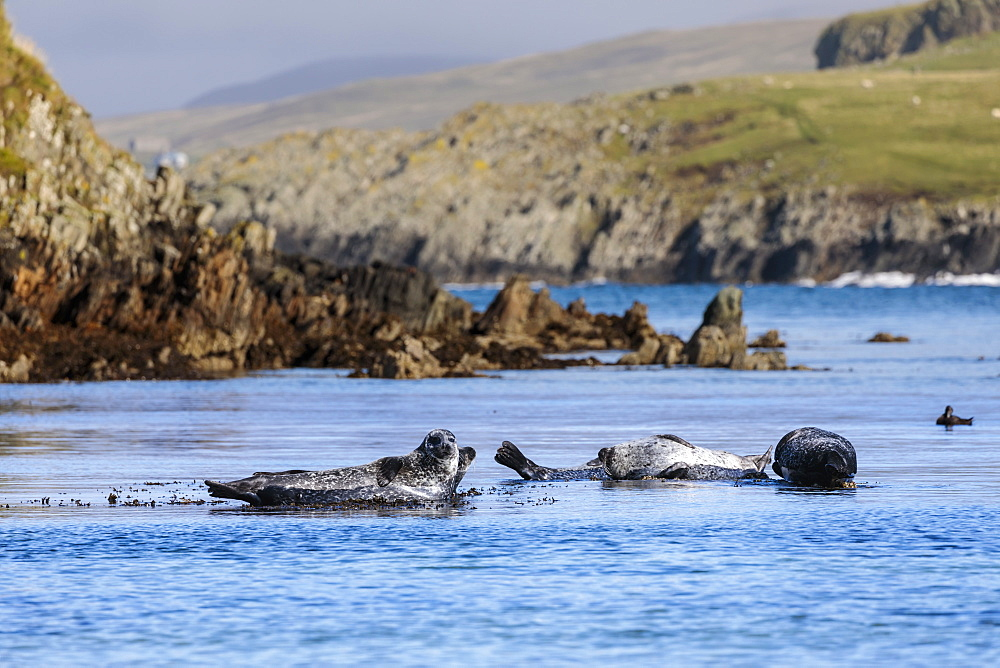 Common seals, harbour seals, hauled out on rocks, turquoise sea, Scousburgh Sands, South Mainland, Shetland Isles, Scotland, United Kingdom, Europe