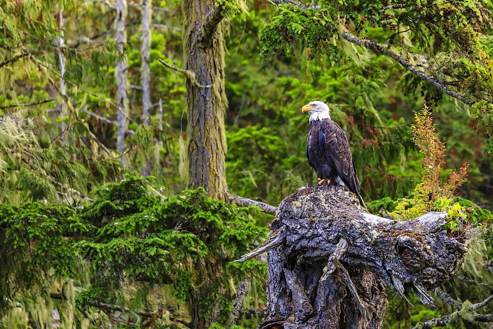 Bald Eagle, Haliaeetus leucocephalus, in a forest setting, Alert Bay, Inside Passage, British Columbia, Canada, North America