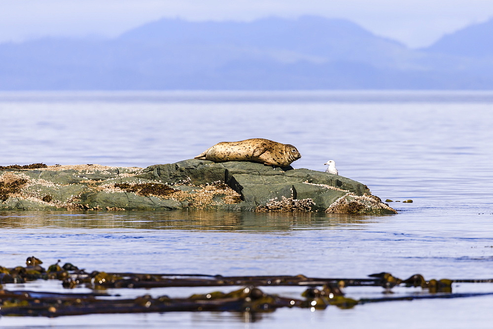 Seal and seabird look at each other on a rock in the calm sea, near Alert Bay, Inside Passage, British Columbia, Canada
