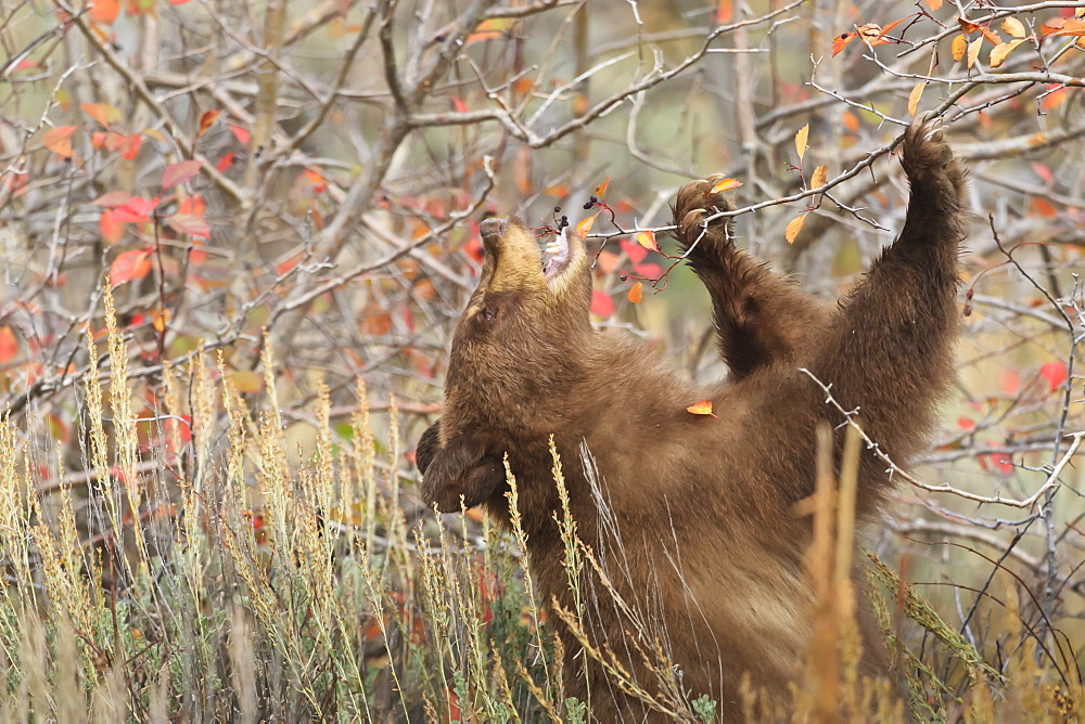 Cinnamon black bear (Ursus americanus) eats autumn (fall) berries, Grand Teton National Park, Wyoming, United States of America, North America