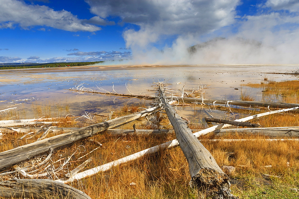 Fallen lodgepole pines, Grand Prismatic Spring, Midway Geyser Basin, Yellowstone National Park, UNESCO World Heritage Site, Wyoming, United States of America, North America
