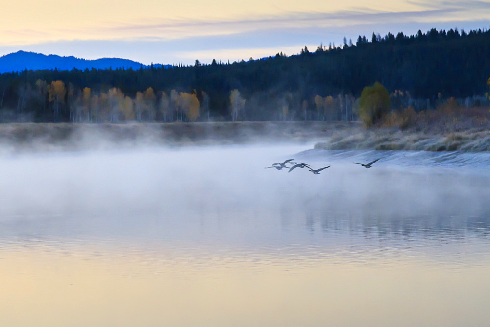 Wildfowl in flight over Snake River surrounded by a cold dawn mist in autumn (fall), Grand Teton National Park, Wyoming, United States of America, North America
