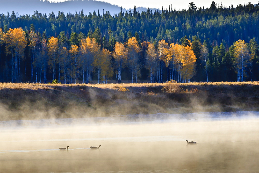 Wildfowl on Snake River surrounded by a cold dawn mist in autumn (fall), Grand Teton National Park, Wyoming, United States of America, North America