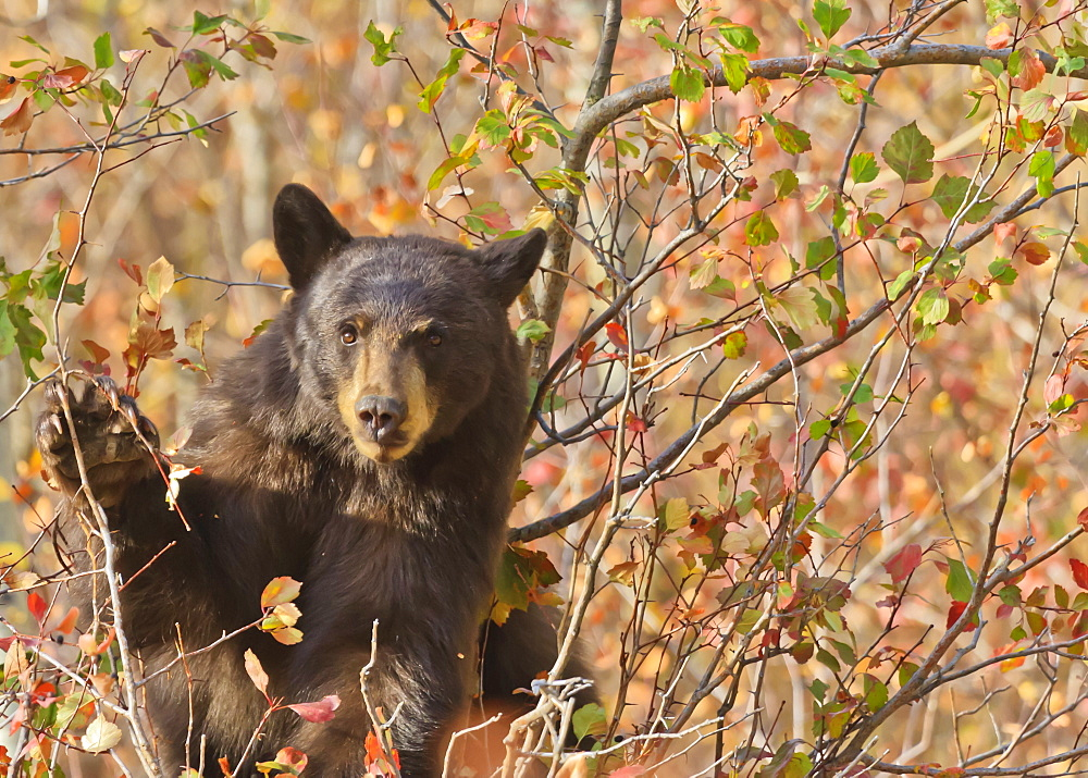 Cinnamon black bear (Ursus americanus) pauses from collecting autumn (fall) berries, Grand Teton National Park, Wyoming, United States of America, North America