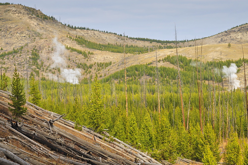 Steam from Imperial and Spray Geysers through regenerating forest, Midway Geyser Basin, Yellowstone National Park, UNESCO World Heritage Site, Wyoming, United States of America, North America