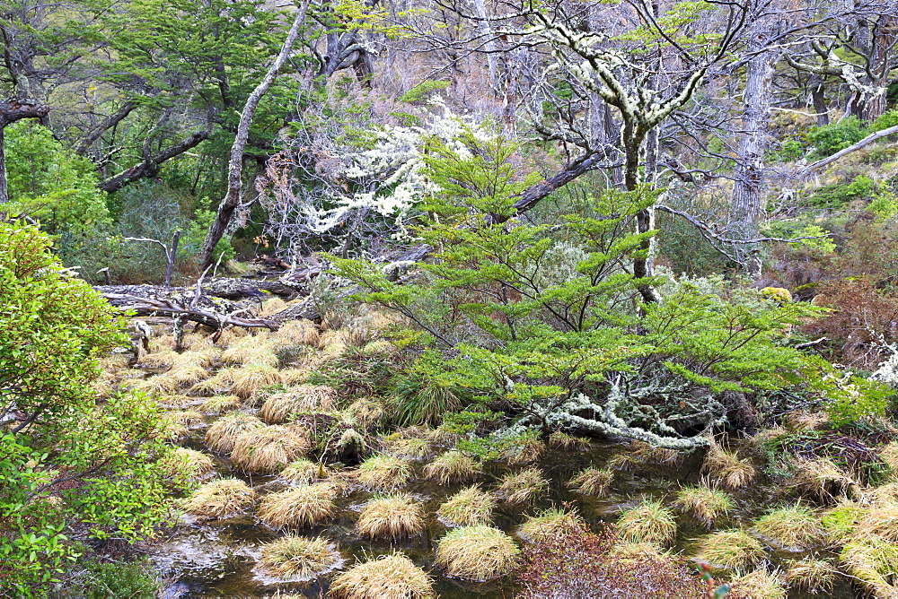 Magellanic lenga (Nothofagus pumilio) forest and swamp, Torres del Paine National Park, Patagonia, Chile, South America
