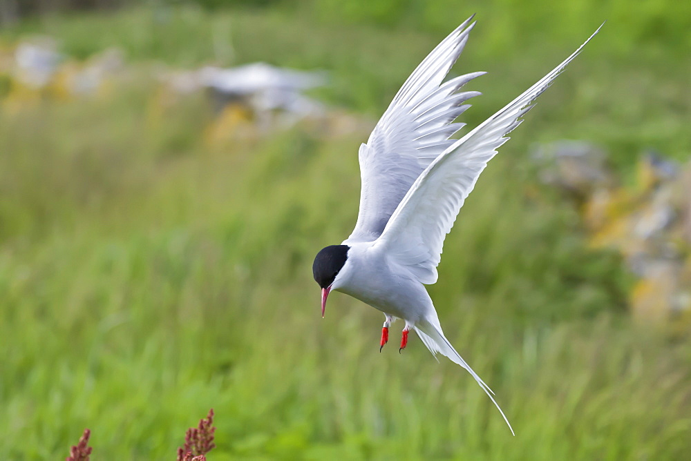 Arctic tern (Sterna paradisaea) in flight, Inner Farne, Farne Islands, Northumberland, England, United Kingdom, Europe