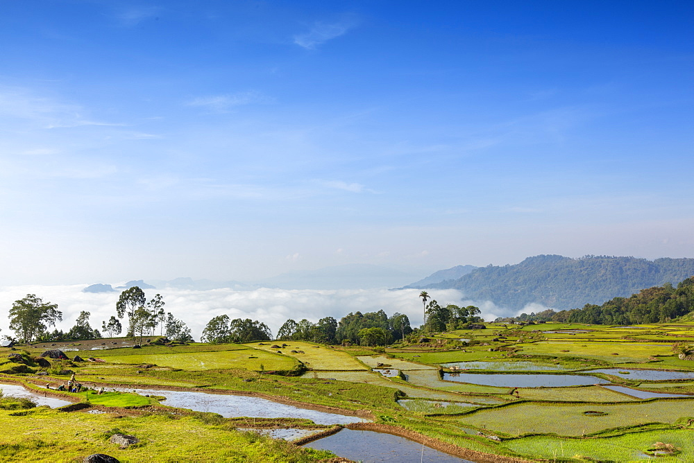 Rice paddy fields in the highlands, Tana Toraja, Sulawesi, Indonesia, Southeast Asia, Asia - 1176-1009