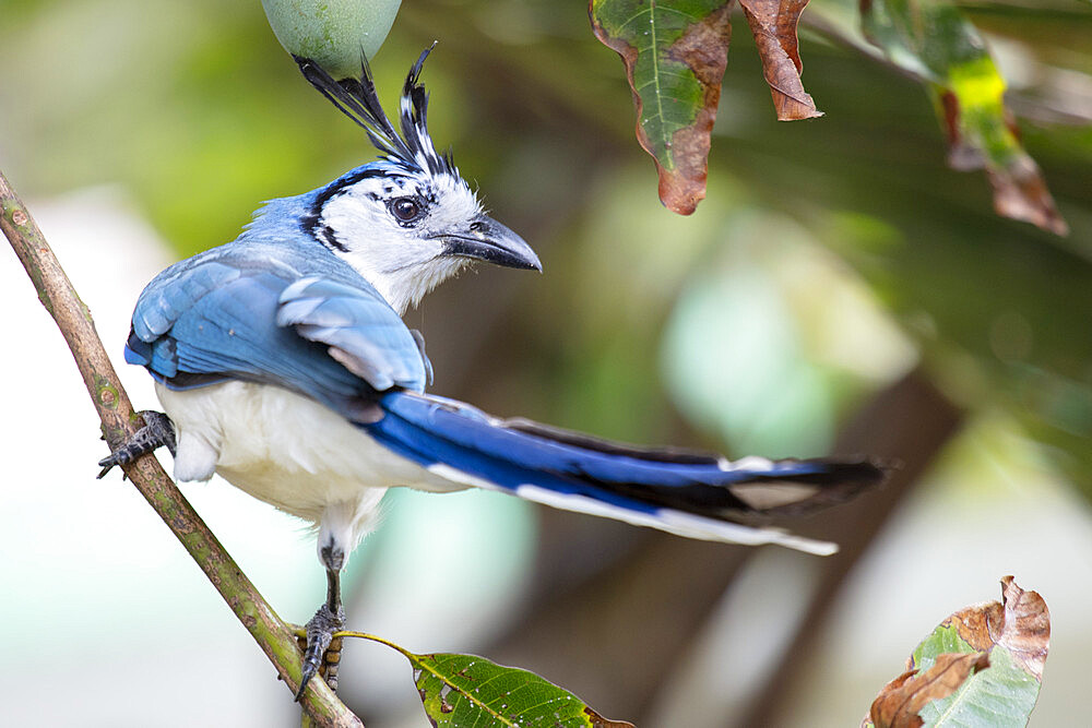 A white-throated magpie-jay (Calocitta formosa) in lowland tropical forest, Nicaragua, Central America