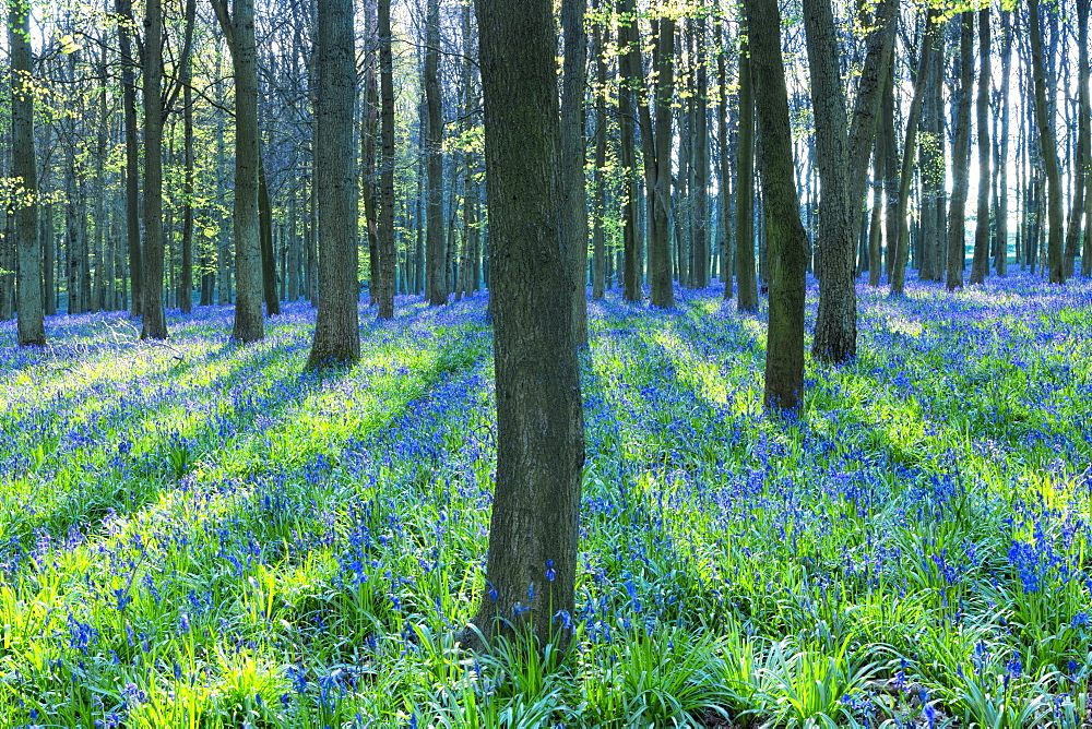 Ancient bluebell woodland in spring, Dockey Wood, Ashridge Estate, Berkhamsted, Hertfordshire, England, United Kingdom, Europe - 1176-219