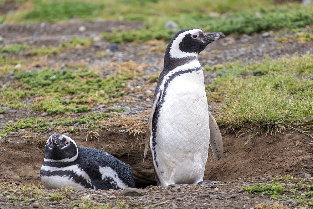 Magellanic penguin (Spheniscus magellanicus), a pair of breeding penguins on their nest, Patagonia, Chile, South America