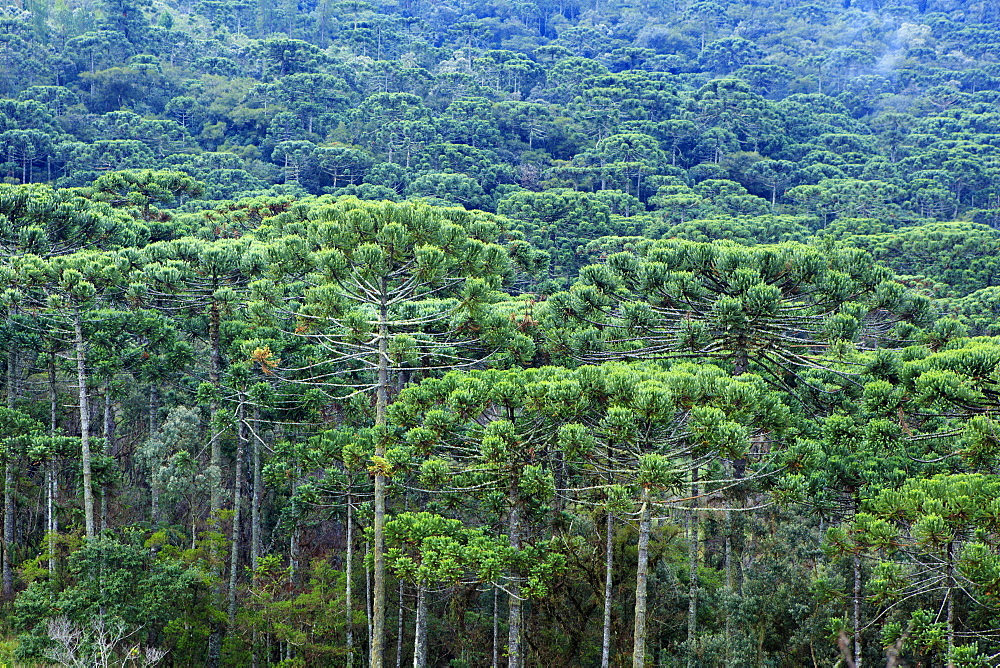 A forest of Parana (Araucaria) pines (Araucaria angustifolia) in the mountains near Sao Paulo, Brazil, South America