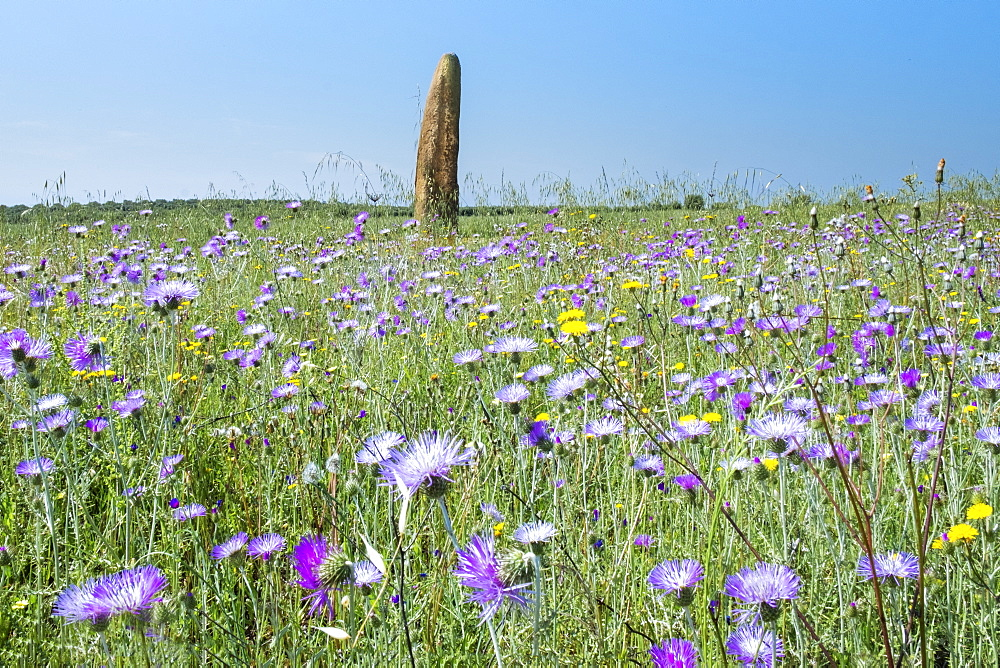 The megalithic Menir do Outeiro standing stone in a meadow of wild flowers, Monsaraz, Alentejo, Portugal, Europe