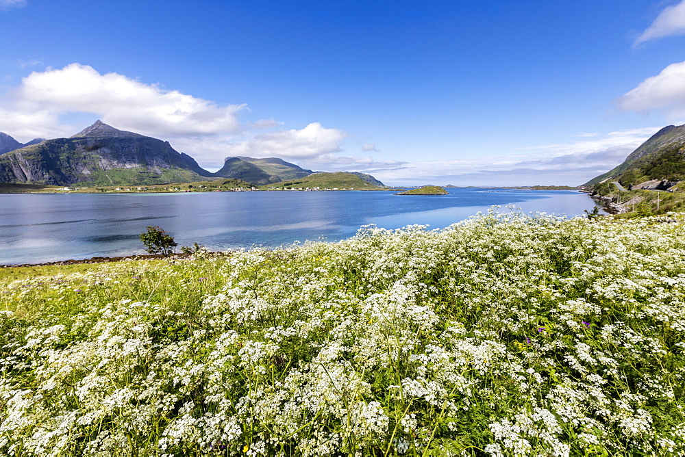 Summer flowers framed by clear water, Fredvang, Flakstad municipality, Nordland county, Lofoten Islands, Artic, Northern Norway, Scandinavia, Europe
