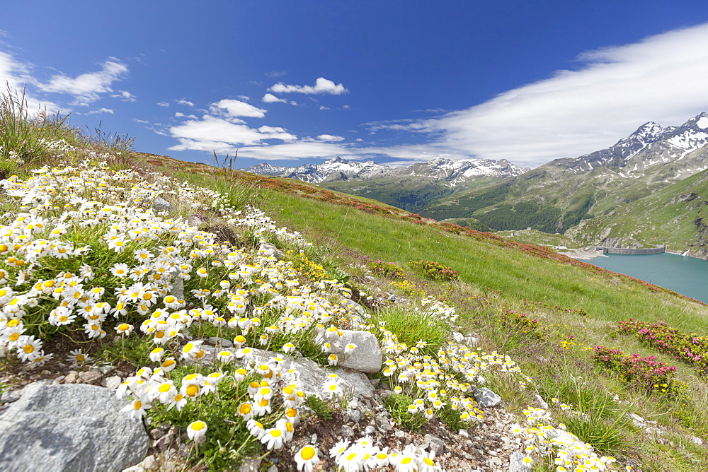Daisies and green meadows frame the blue water Montespluga Chiavenna Valley Sondrio province Valtellina Lombardy Italy Europe