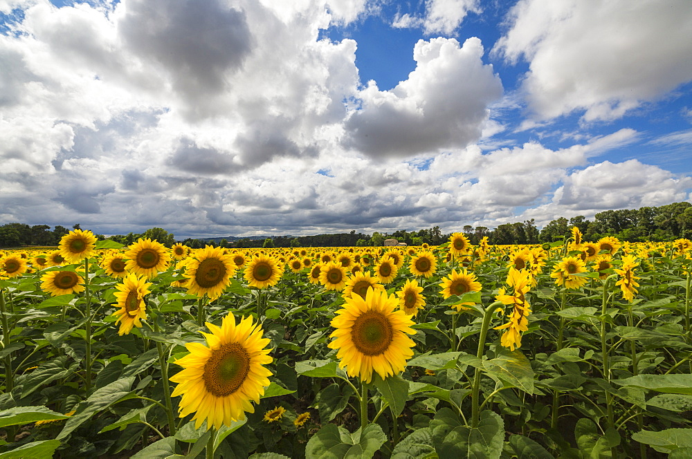 Sunflowers and clouds in the rural landscape of Senigallia, Province of Ancona, Marche, Italy, Europe