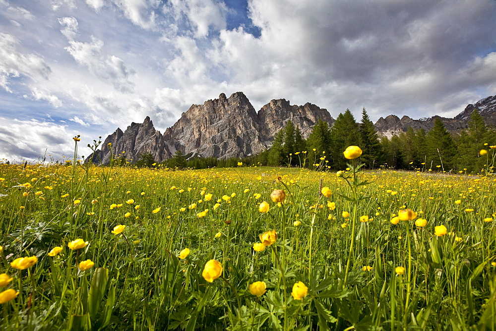 Globe-flowers (trollius europaeus) blooming at the foot of a massif in the Dolomites by Cortina D'Ampezzo, Veneto, Italy, Europe