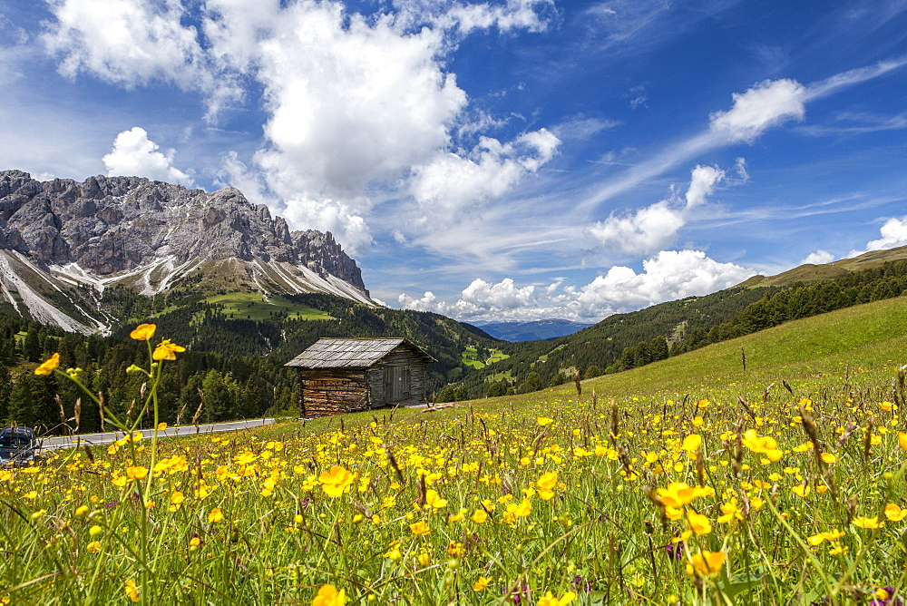 Yellow flowers in spring in the Funes Valley in the Dolomites, South Tyrol, Italy, Europe - 1179-146