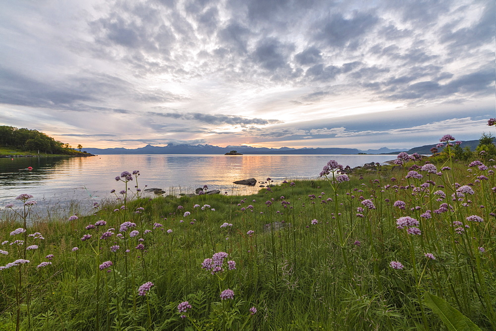 Green meadows and flowers frame the sea under the pink clouds of midnight sun Vidrek Ofotfjorden Norway Europe
