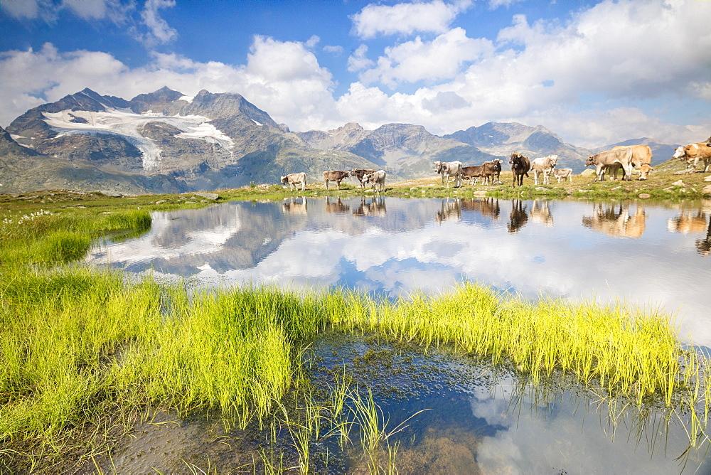 Cows grazing on green pastures surrounding the alpine lake, Val Bugliet, Canton of Graubunden, Engadine, Switzerland, Europe