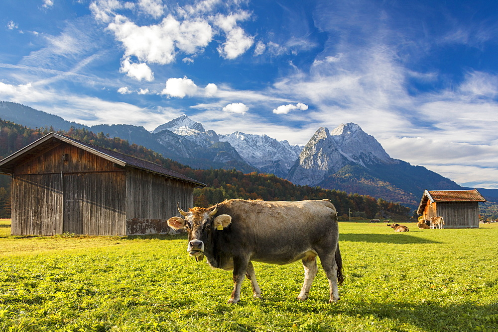 Cow in the green pastures framed by the high peaks of the Alps Garmisch Partenkirchen Upper Bavaria Germany Europe
