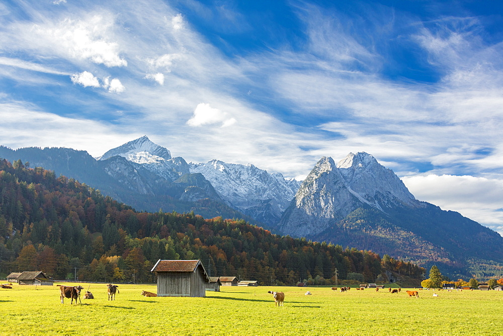 Cows in the green pastures framed by the high peaks of the Alps Garmisch Partenkirchen Upper Bavaria Germany Europe