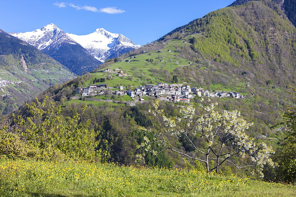 The cherry tree in bloom frames the alpine village of Bema, Orobie Alps, Gerola Valley, Valtellina, Lombardy, Italy, Europe