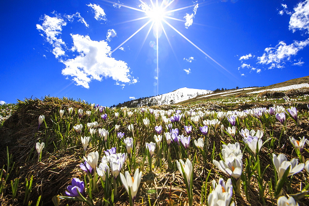 The sun illuminating the crocus blooming by the Cima della Rosetta with its peak still covered in snow, Lombardy, Italy, Europe - 1179-173