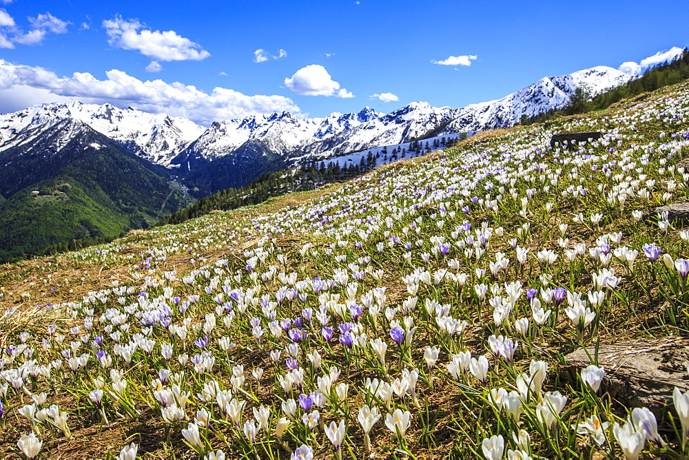 Crocus blooming on the pastures surrounding Cima Rosetta in the Orobie Alps, Lombardy, Italy, Europe