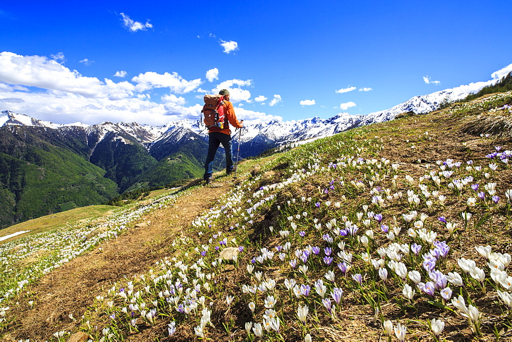 Hiker walking along a trail surrounded by spring flowers near Cima della Rosetta in the Orobie Alps, Lombardy, Italy, Europe