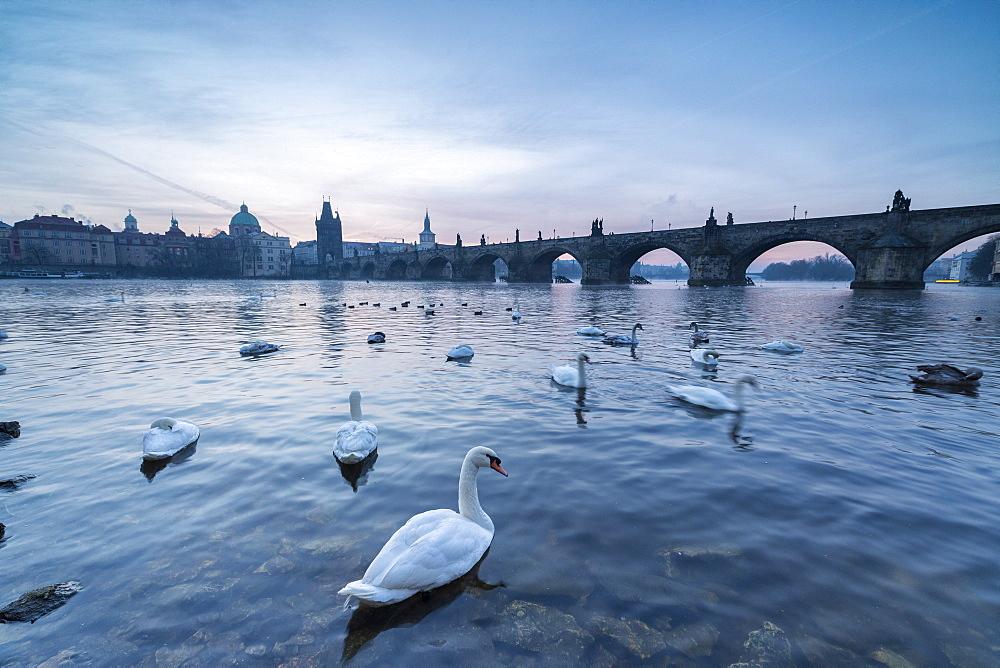 White swans on the Vltava River and the historical Charles Bridge at sunrise, UNESCO World Heritage Site, Prague, Czech Republic, Europe
