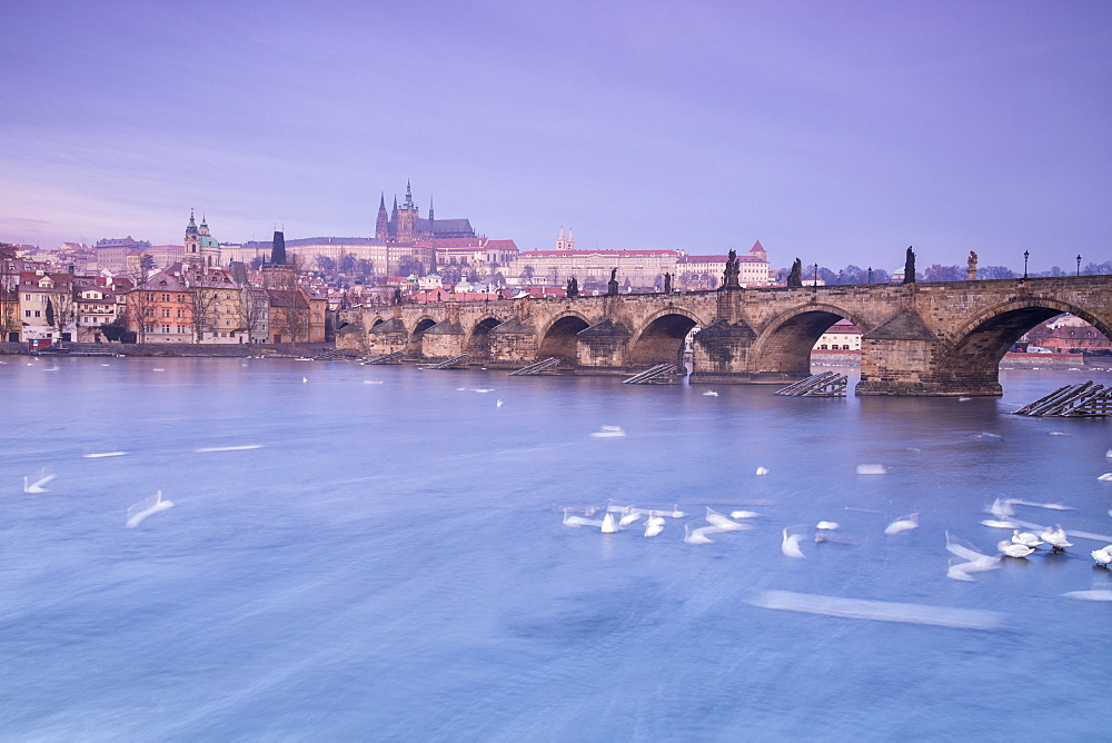 White swans on the Vltava River and the historical Charles Bridge at sunrise, UNESCO World Heritage Site, Prague, Czech Republic, Europe