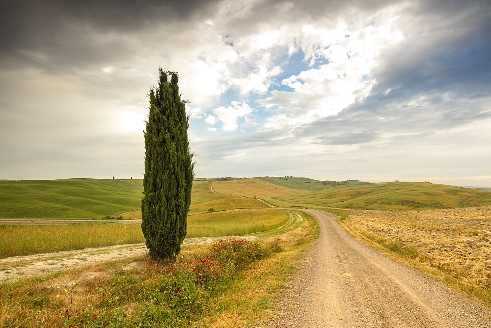 Lonely tree and asphalt road in the gentle green hills of Val d'Orcia, UNESCO World Heritage Site, Province of Siena, Tuscany, Italy, Europe