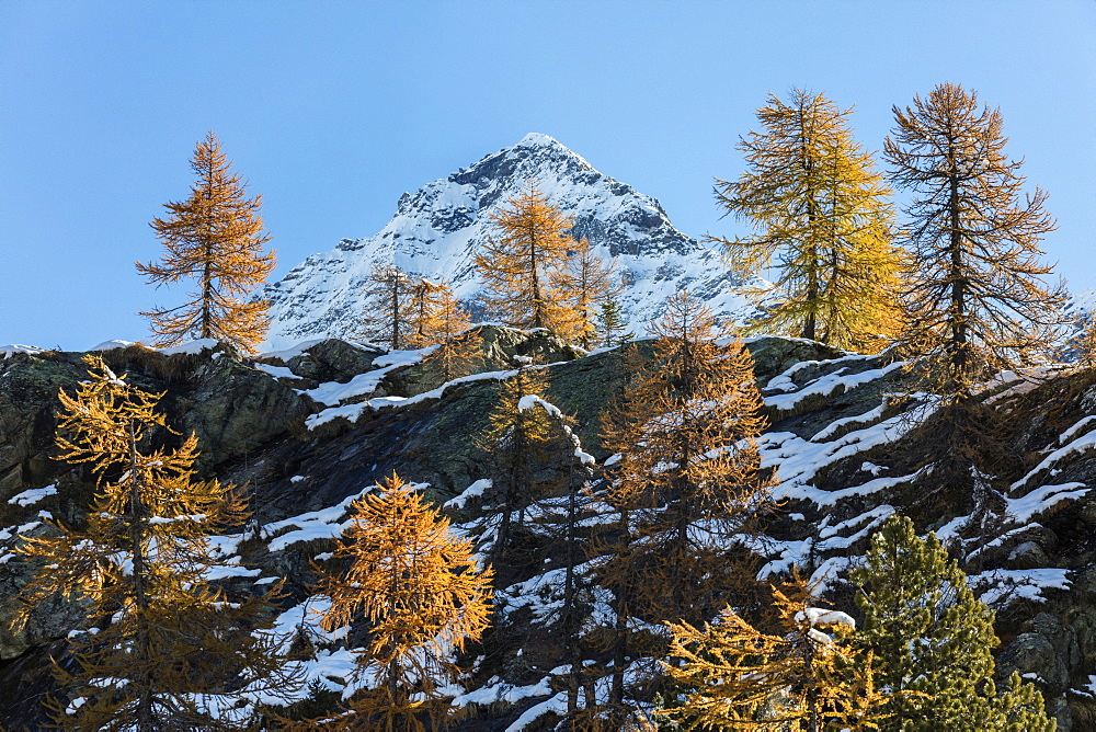 Red larches frame the snowy peaks, Malenco Valley, Province of Sondrio, Valtellina, Lombardy, Italy, Europe