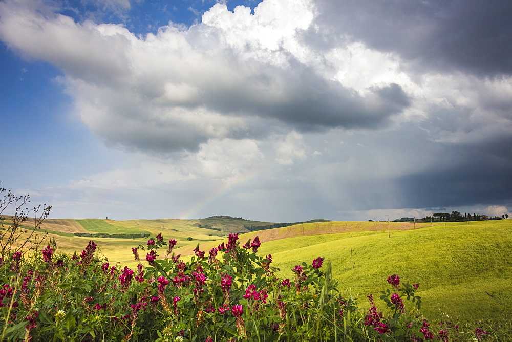 Red flowers and rainbow frame the green hills and farmland of Crete Senesi (Senese Clays), Province of Siena, Tuscany, Italy, Europe