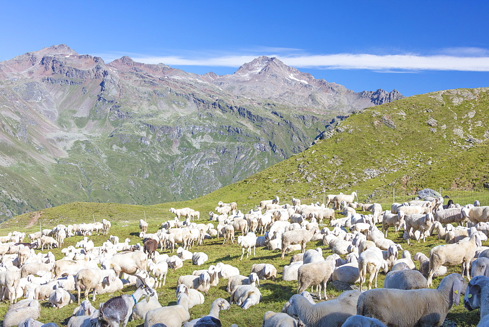 Sheep in the green pastures surrounded by rocky peaks Val Di Viso Camonica Valley province of Brescia Lombardy Italy Europe