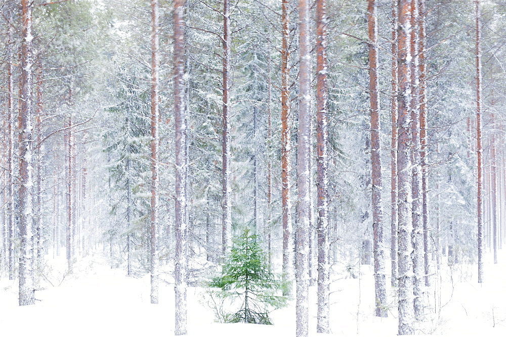 Tall trees in the snowy woods shrouded in the morning mist, Alaniemi, Rovaniemi, Lapland region, Finland, Europe