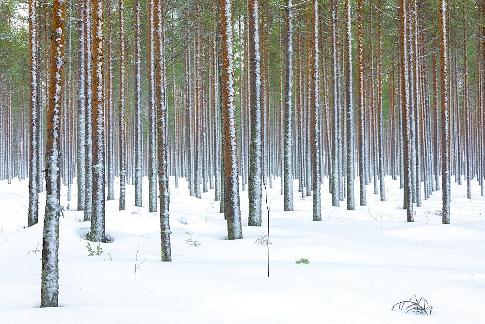 Tree trunks in the snowy woods Alaniemi Rovaniemi Lapland region Finland Europe - 1179-1952