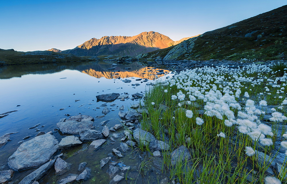 Cotton grass frames the rocky peaks reflected in Lake Umbrail at sunset, Stelvio Pass, Valtellina, Lombardy, Italy, Europe