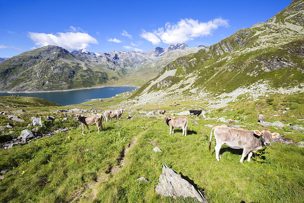 Cows in the green pastures with Lake Montespluga in the background Chiavenna Valley Valtellina Lombardy Italy Europe