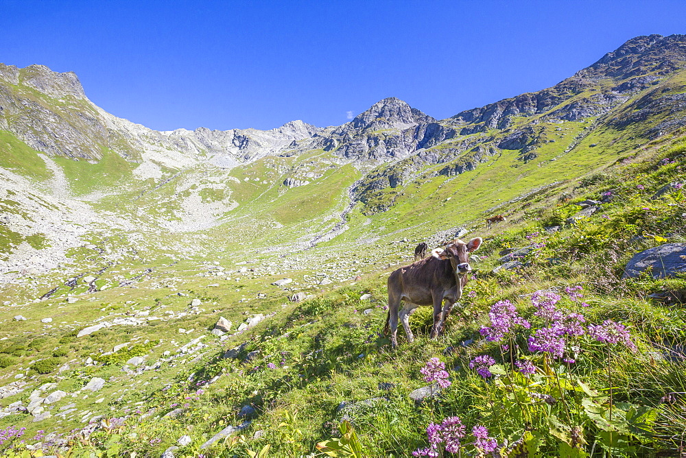 Cows graze in the green pastures with the rocky peak Suretta in the background Chiavenna Valley Valtellina Lombardy Italy Europe