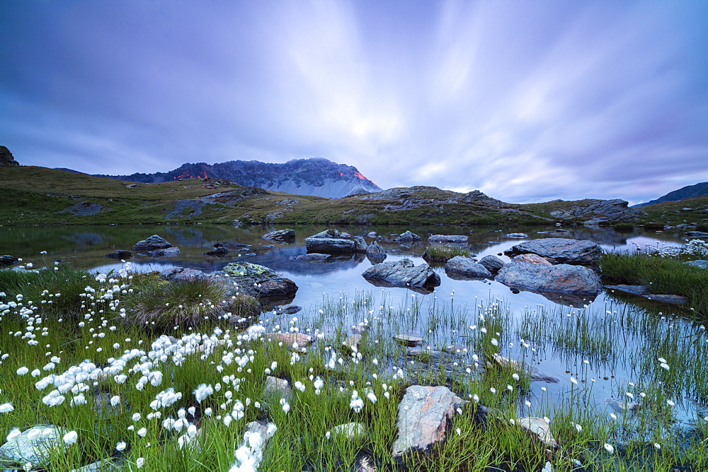 Laghetto Alto Scorluzzo framed by cotton grass at sunrise, Bormio, Braulio Valley, Valtellina, Lombardy, Italy, Europe