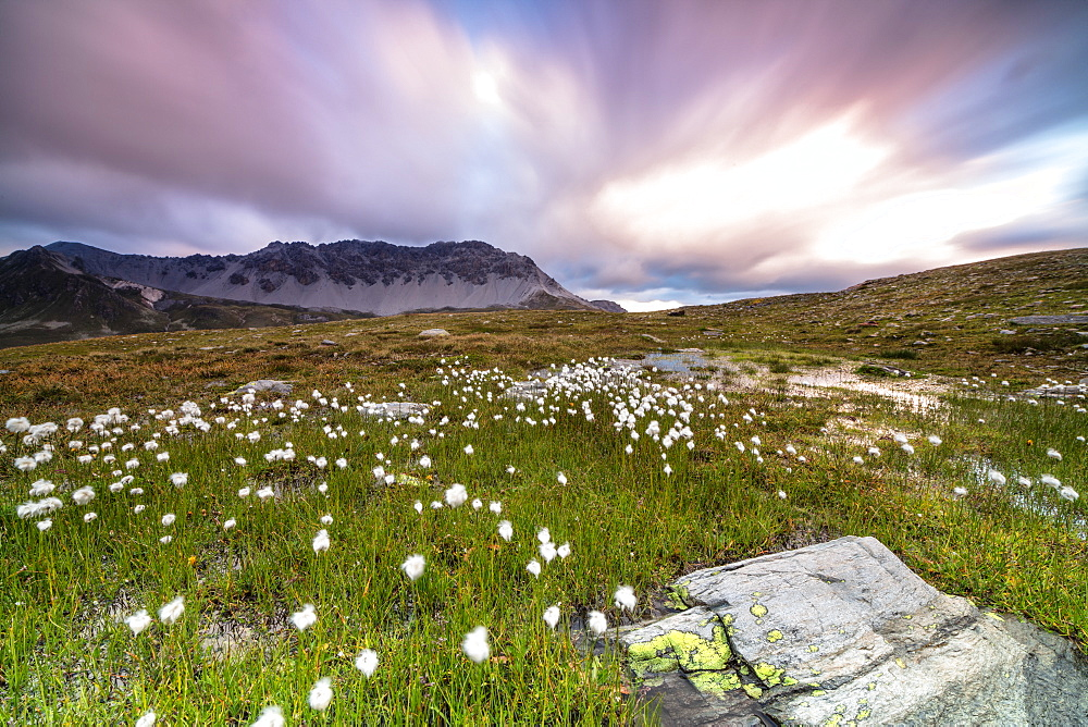 Pink sky frames cotton grass at dawn, Laghetto Alto Scorluzzo, Bormio, Braulio Valley, Valtellina, Lombardy, Italy, Europe