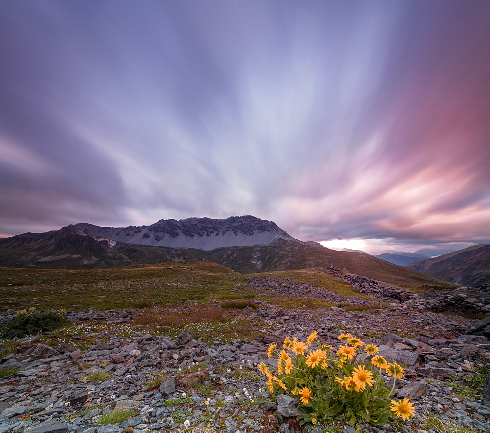 Panorama of pink clouds at dawn on Piz Umbrail framed by flowers, Braulio Valley, Valtellina, Lombardy, Italy, Europe