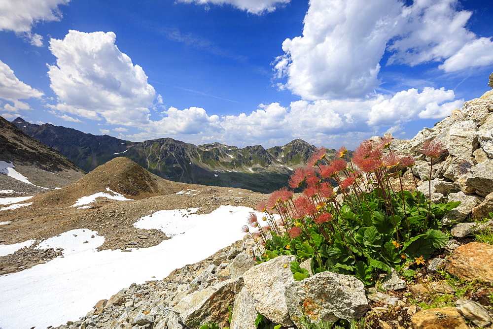 Colourful flowers in bloom framed by rocky peaks, Joriseen, Jorifless Pass, canton of Graubunden, Engadine, Switzerland, Europe