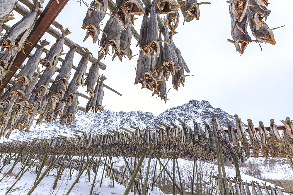 Codfish, the main product of the Lofoten Islands exposed to dry to the sun and air, Hamnoy, Lofoten Islands, Arctic, Norway, Scandinavia, Europe