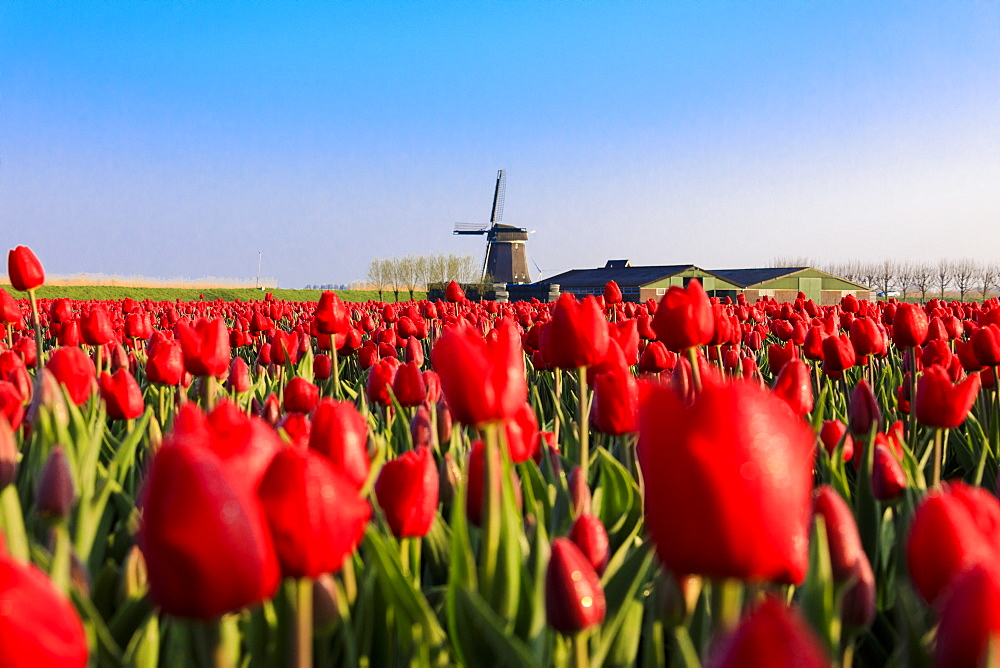Fields of red tulips surround the typical windmill, Berkmeer, municipality of Koggenland, North Holland, The Netherlands, Europe