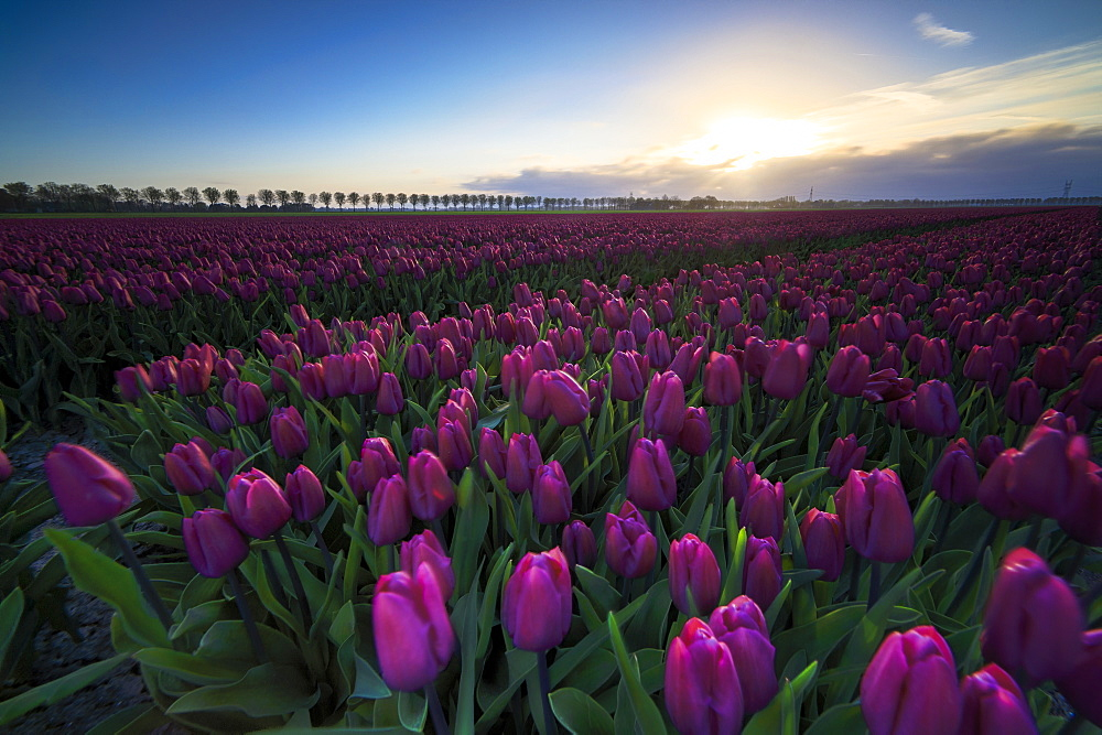 Colourful fields of tulips in bloom at dawn, De Rijp, Alkmaar, North Holland, Netherlands, Europe