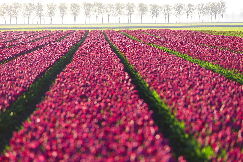 The colourful fields of tulips in bloom and trees in the countryside at dawn, De Rijp, Alkmaar, North Holland, Netherlands, Europe